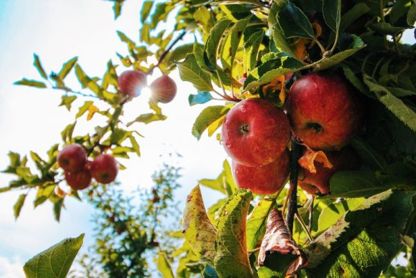 How to Prune and Care for Your Fruit Trees with Pieter Severynen